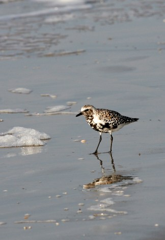 The mottled plumage of a Black-bellied Plover between seasons
