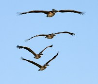 Flying in formation along the Galveston beach