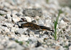 Killdeer on its nest in gravel