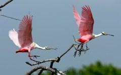 Roseate Spoonbills on the chase