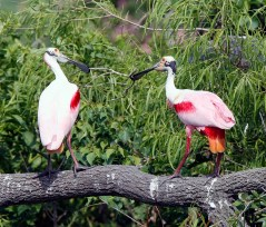 Roseate Spoonbills share a stick as part of courtship ritual