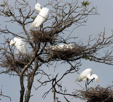Great Egrets nesting at the Rookery