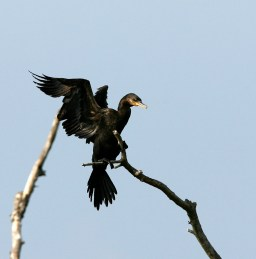 Neotropic Cormorant on a perch at the Rookery