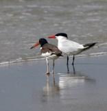 Oystercatcher and Caspian Tern