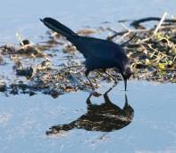 Boat-tailed Grackle in the marsh at Brazos Bend