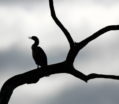 Neotropic Cormorant silhouetted in a tree at Brazos Bend