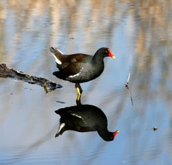 Common Moorhen in slough at Brazos Bend