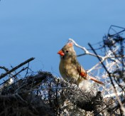 Female Cardinal near the Spillway Trail at Brazos Bend