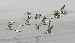 Flock of Common Terns along the Galveston beach