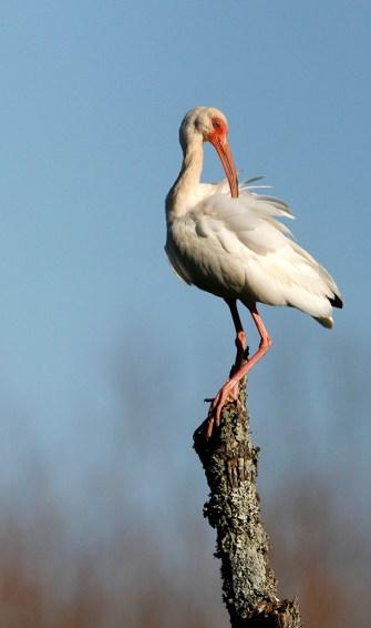 Preening on a perch