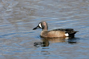 Blue-winged Teal in breeding plumage