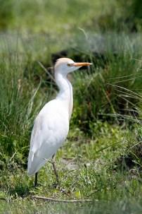 Cattle Egret in a grassy field