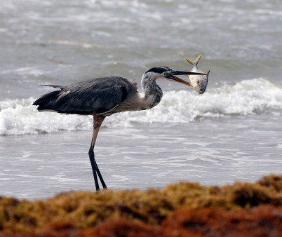 Great Blue Heron with a small Pompano