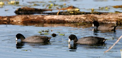A trio of American Coots dabbling on a pond.