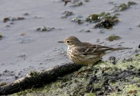 American Pipit at Brazos Bend