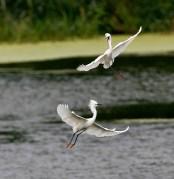 A pair of Snowy Egrets dance