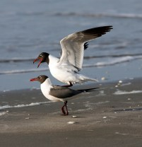 Courting Laughing Gulls