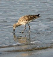 Willet foraging in the shallow surf