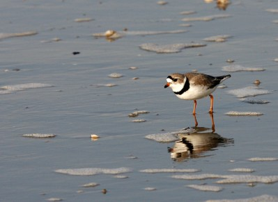 Piping Plover in breeding plumage