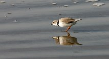Piping Plover getting ready to strike