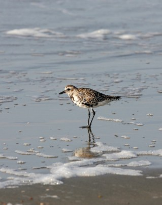 Black-bellied Plover looking for a meal