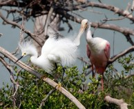 Display of wispy plumes in the company of a Roseate Spoonbill