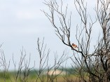 Cardinal in scorched tree