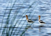 Avocets on Gator Nest Pond in wetter times