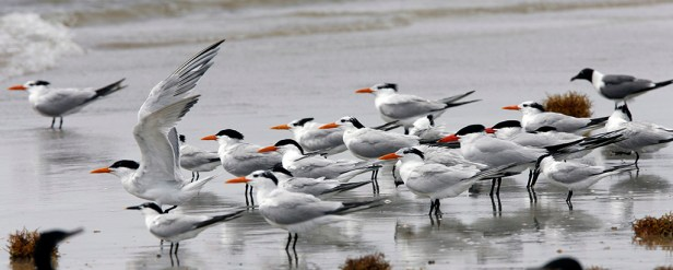 A mixed flock of mostly Royal Terns with a couple of smaller Sandwich Terns and one larger Caspian Tern