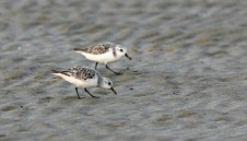 A pair of Sanderlings in the dry sand