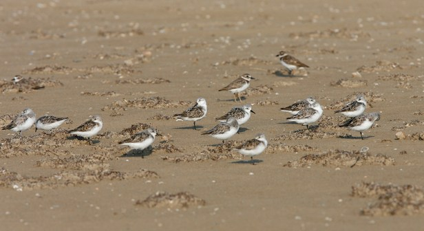 Sanderlings with two Piping Plover