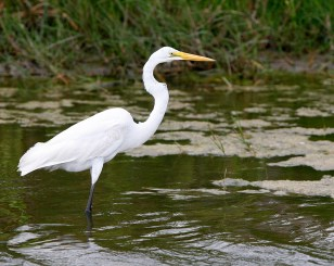 Great Egret in the Slough alongside the road