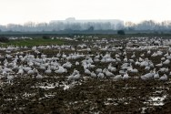 Snow Geese descend on a fallow field