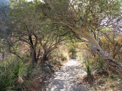 Texas Madrone on the McKittrick Canyon Trail