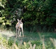 White-tailed deer on the edge of the Heron Flats Trail
