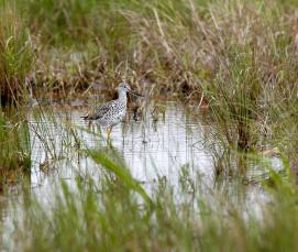 Greater Yellow Legs in marshy grass