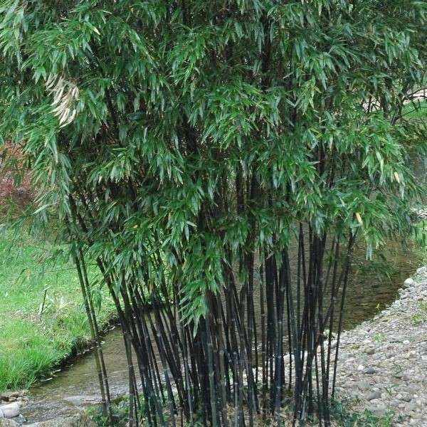 bamboo privacy garden Clumping bamboo landscape – privacy screen and decoration