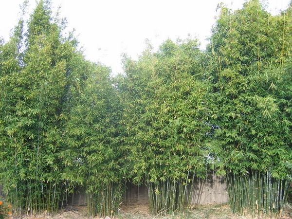 clumping bamboo garden Clumping bamboo landscape – privacy screen and decoration