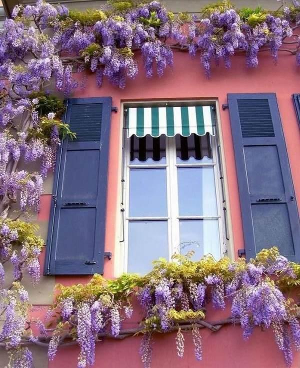 Wisteria vine for the patio landscape - a magnificent ... on Vine Decor Ideas  id=13487