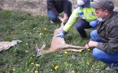 O căprioară a fost salvată de poliţiştii din Comăneşti