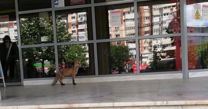 Cumătra vulpe a fost în vizită la E-ON Bacău