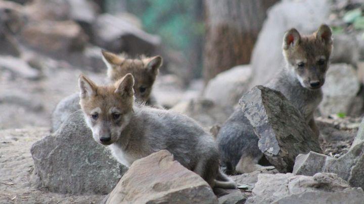 El 24 de abril nacieron cinco lobitos en el Zoológico de Chapultepec y la SEDEMA solicita tu ayuda para ponerles nombre