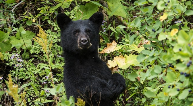 Bears busy bulking up for winter, FWC says