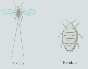 Macho y hembra de la cochinilla