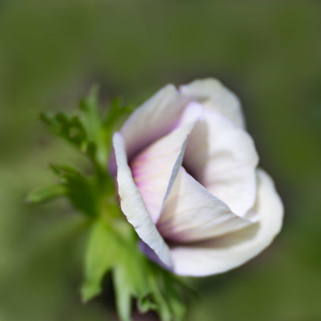 White wedding poppy -Flower photography by Debbie Devereaux
