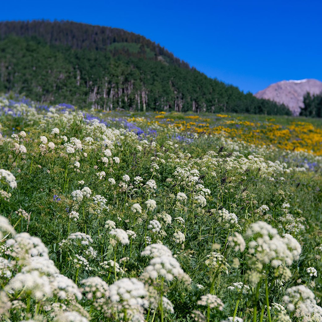 Crested Butte wildflowers. Copyright ©Debbie Devereaux Photography