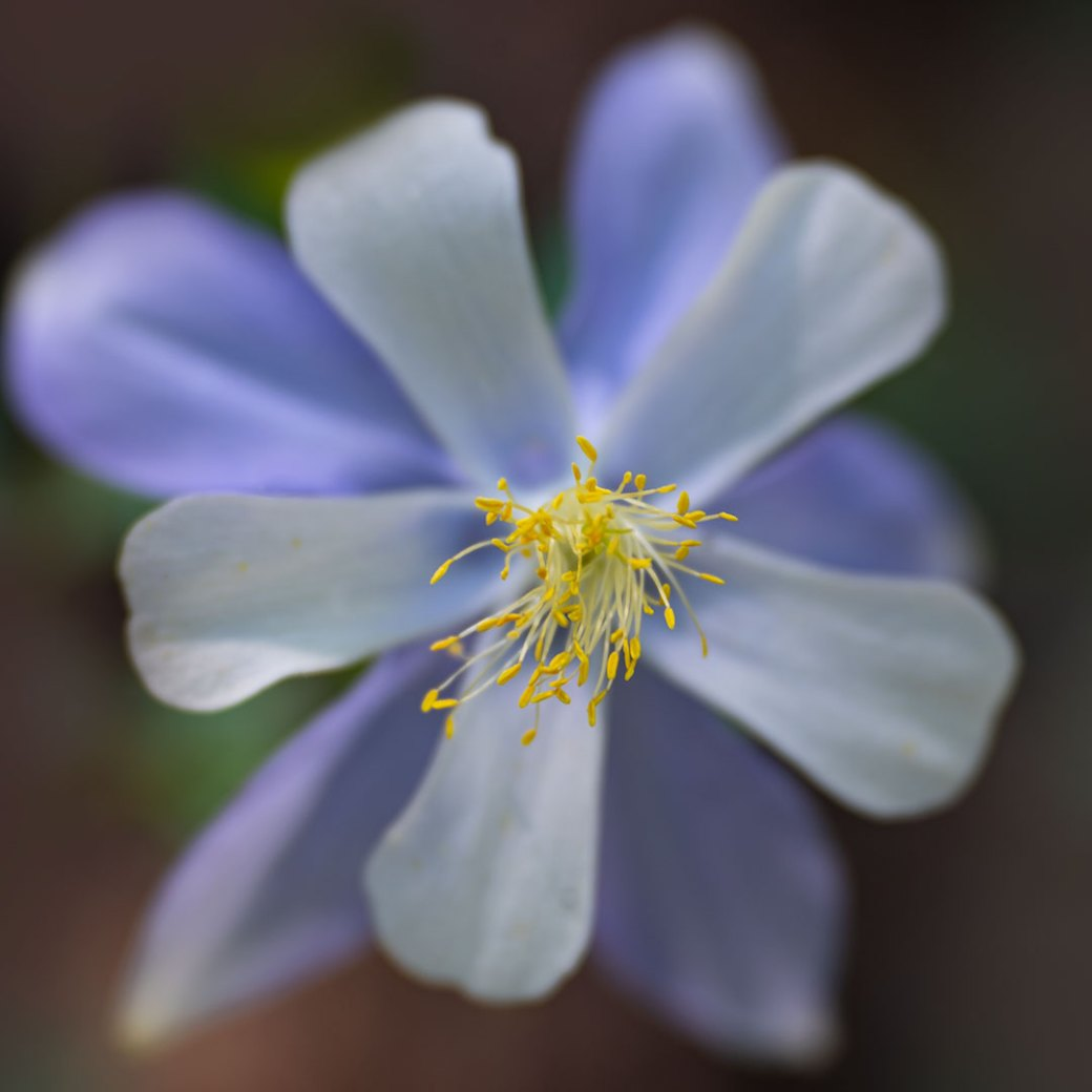 Colorado columbine wildflowers. Image by Debbie Devereaux Photography