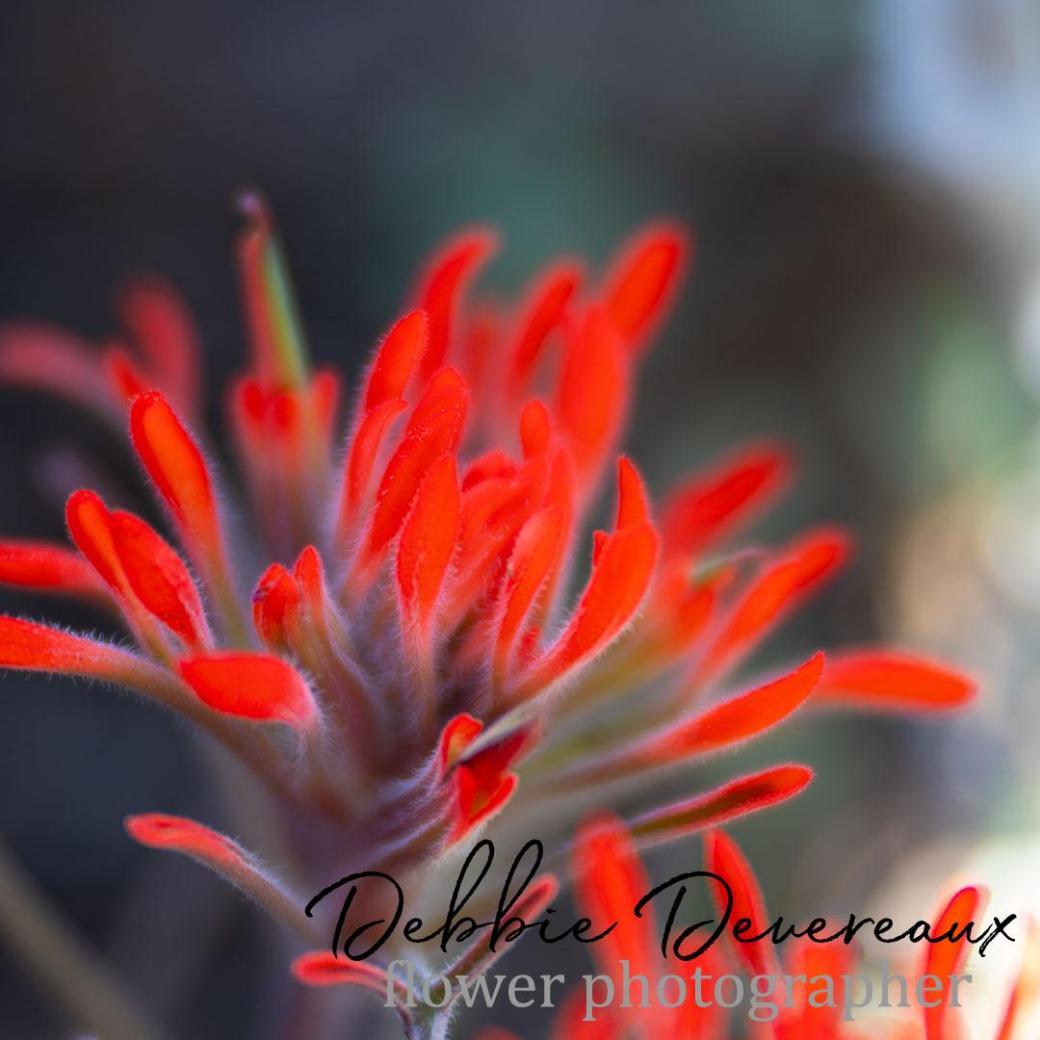 Indian Paintbrush Image Copyright Debbie Devereaux