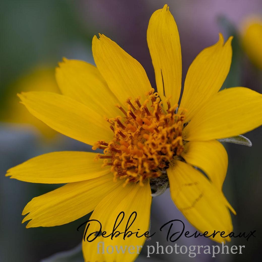 Mules Ear Daisy - Image Copyright Debbie Devereaux