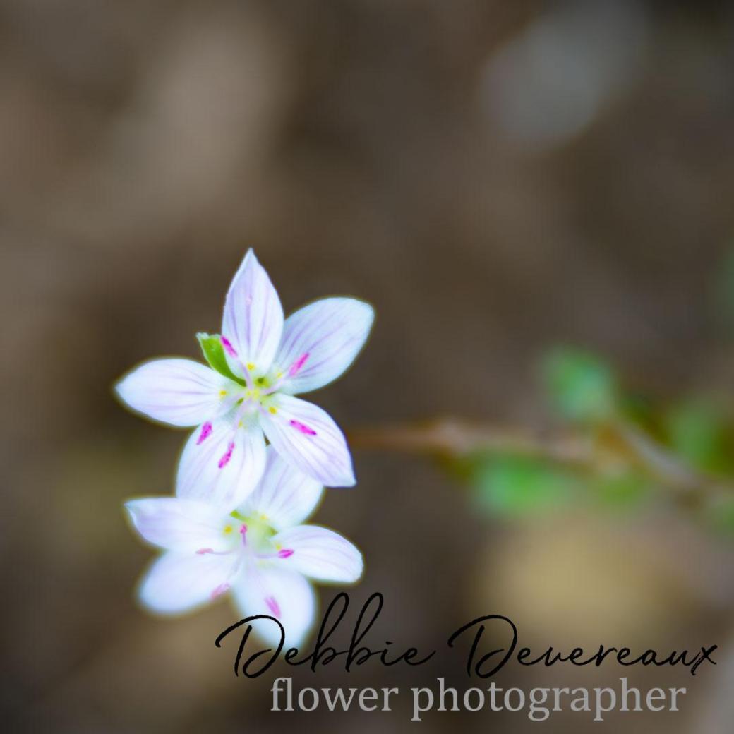 Richardson's Geranium Image Copyright Debbie Devereaux